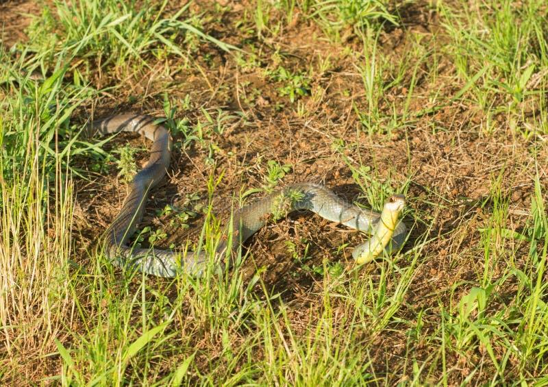 黄腹吸汁啄木鸟的竟赛者, Coluber缩窄器flaviventris蛇 图库摄影