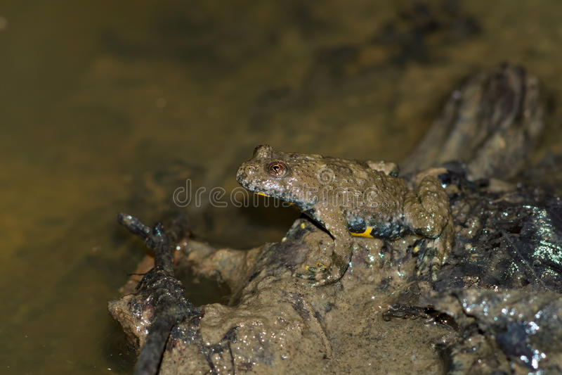 黄腹吸汁啄木鸟的蟾蜍(Bombina variegata) 库存照片