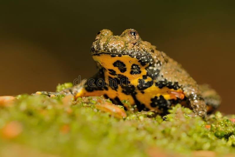黄腹吸汁啄木鸟的蟾蜍(Bombina variegata) 免版税库存照片