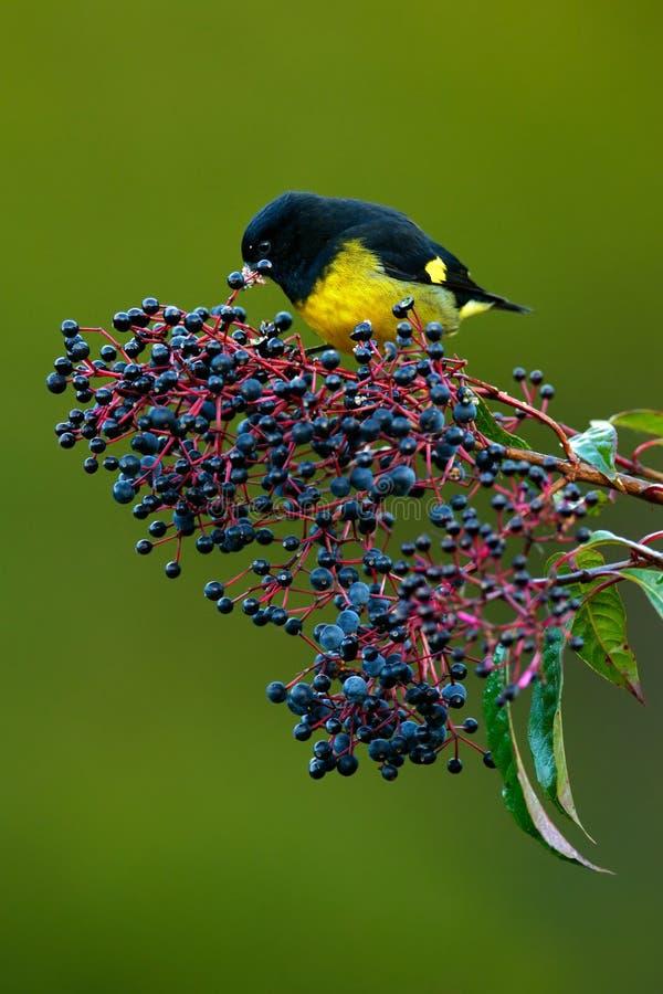 黄腹吸汁啄木鸟的Siskin, Carduelis xanthogastra,吃蓝色和红色果子在自然栖所,救球的热带黄色和黑鸟 免版税库存照片