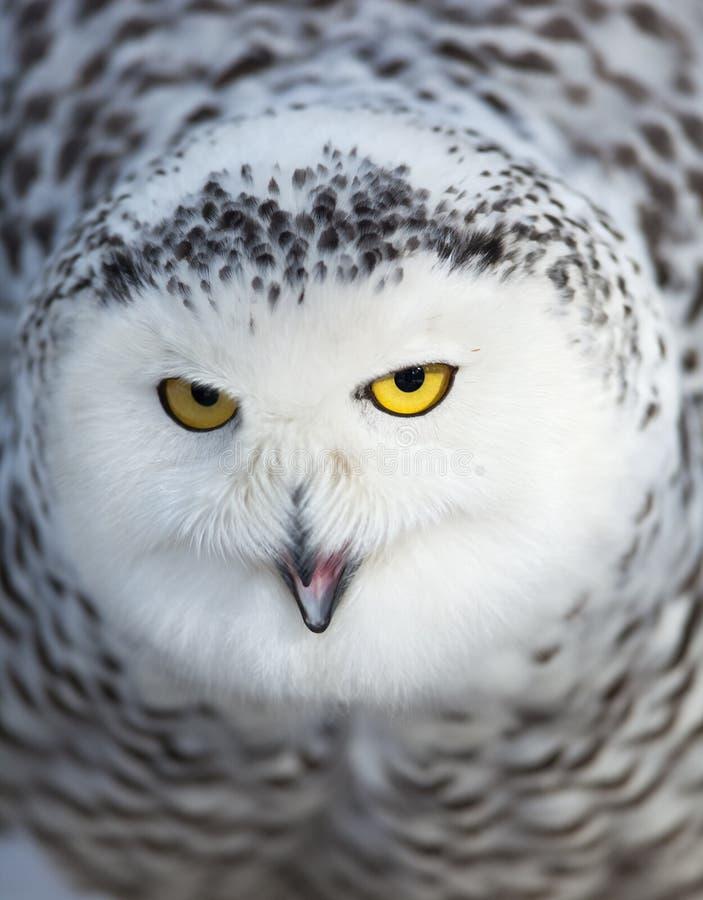 腹股沟淋巴肿块多雪猫头鹰的scandiacus 库存图片
