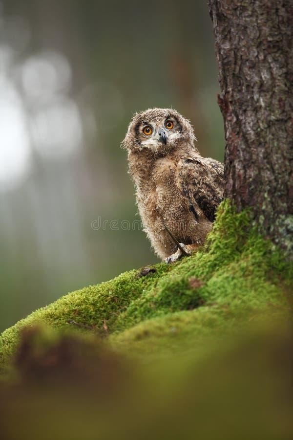 腹股沟淋巴肿块Bengalensis 秋天蓝色长的本质遮蔽天空 美丽的猫头鹰照片 免版税库存照片