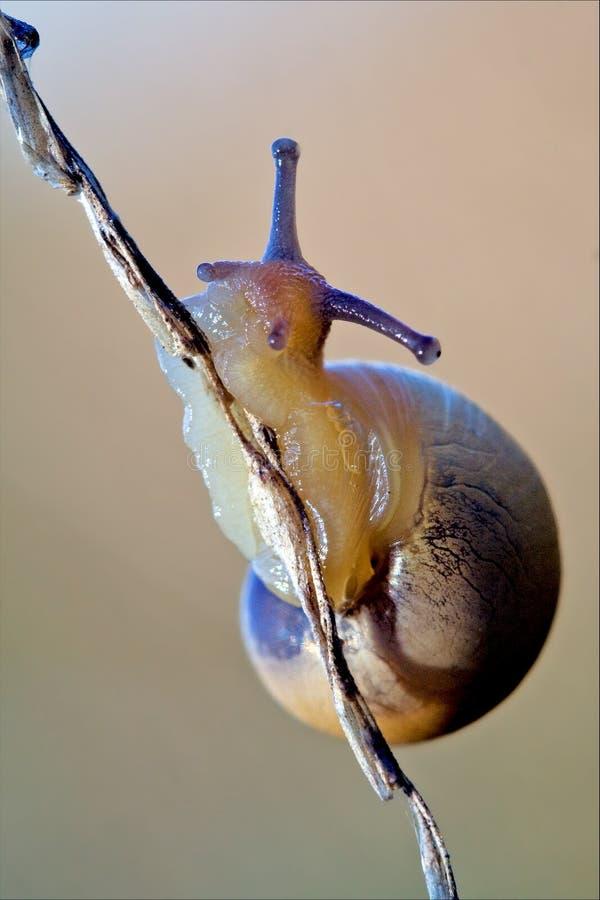 腹足动物在一个棕色分支的门minori 图库摄影