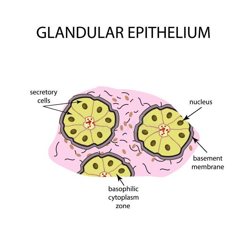 腺皮膜的结构 Infographics 在背景的传染媒介例证 向量例证