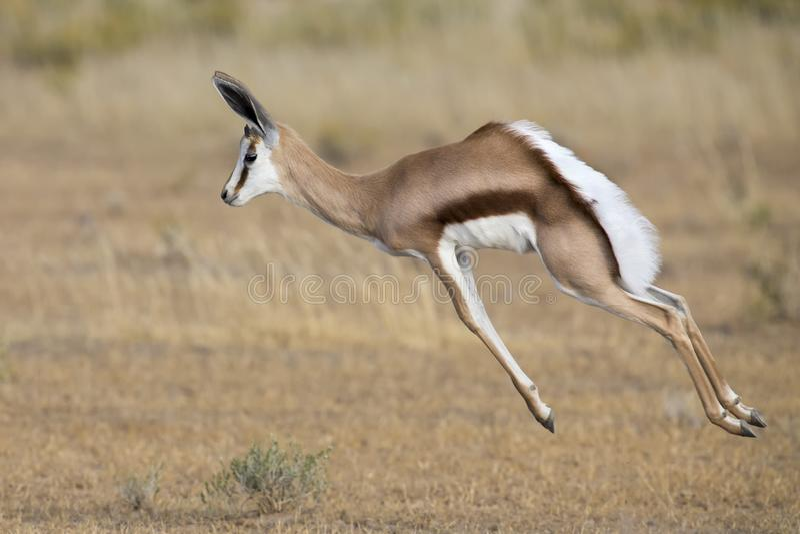 腾跃在Kgalagadi的一个平原的年轻跳羚男性 图库摄影