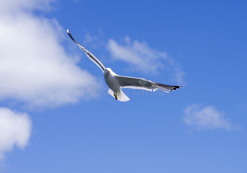腾飞反对蓝天的海鸥 免版税库存照片