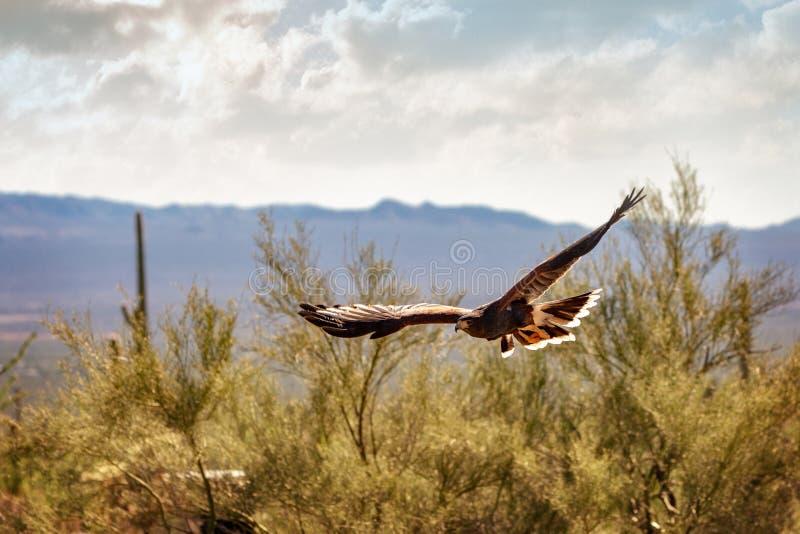 腾飞在亚利桑那风景的哈里斯鹰 库存照片