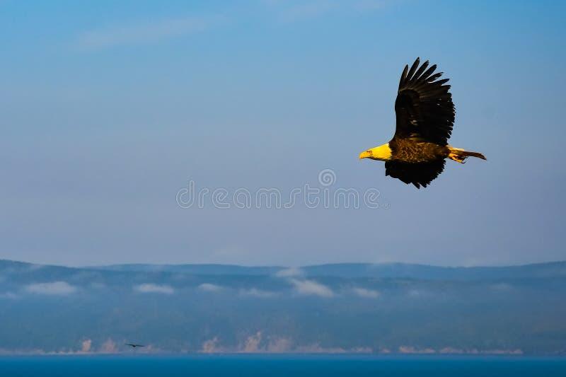 腾飞在山的白头鹰 图库摄影