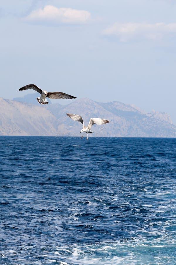 腾飞在海的两只海鸥 免版税库存图片