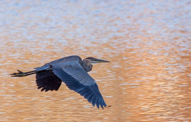 腾飞在金黄水的巨大蓝色herson在秋天 免版税图库摄影