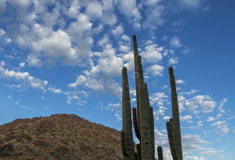 腾飞的仙人掌胳膊在亚利桑那沙漠 免版税图库摄影