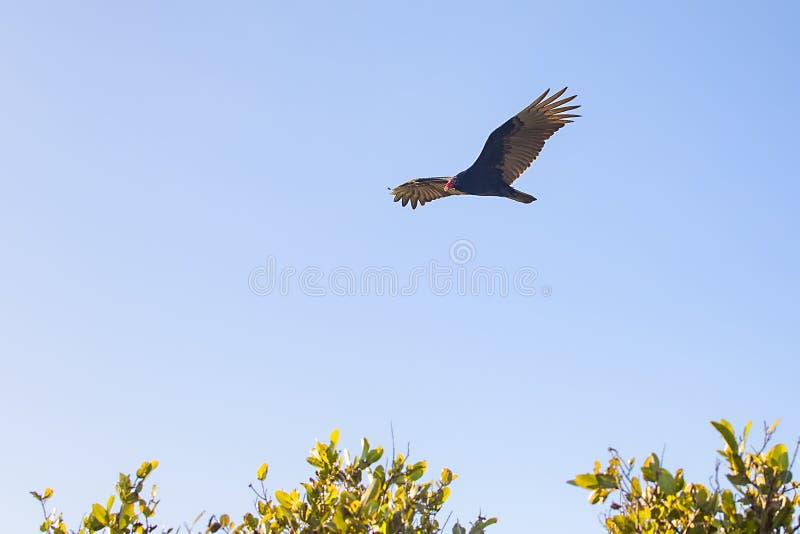 腾飞高在天空的火鸡兀鹰 库存图片