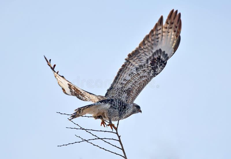 腿上有毛的肉食鵟鸟雷鸟属 库存照片