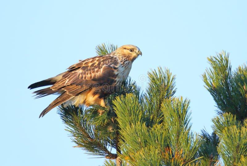 腿上有毛的鹰在树,不列颠哥伦比亚省,加拿大栖息 免版税库存图片