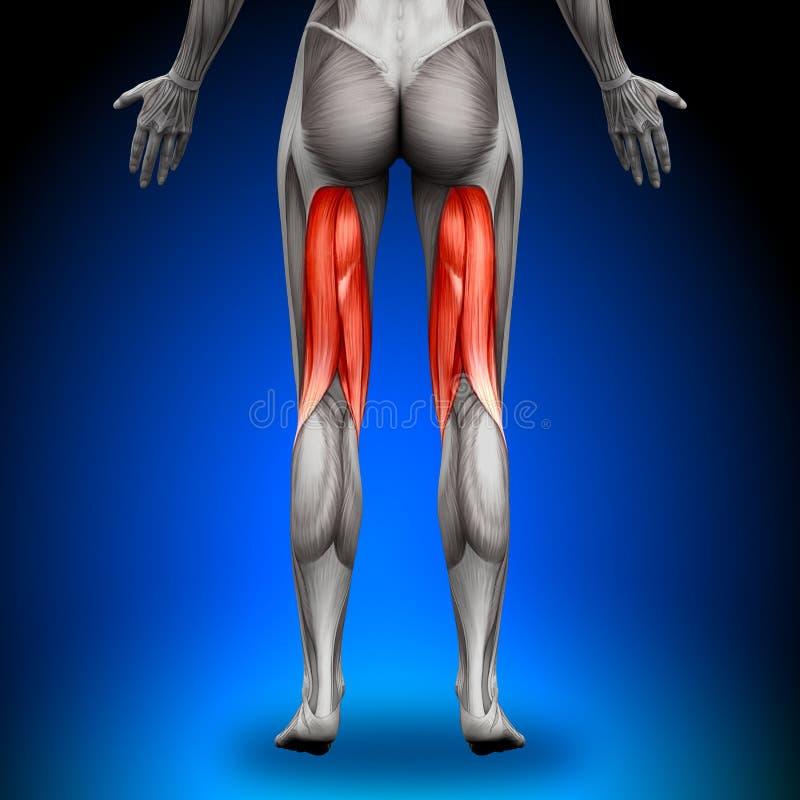 腿筋-女性解剖学肌肉 库存例证