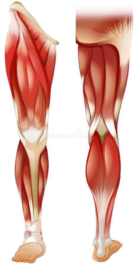 腿肌肉 皇族释放例证