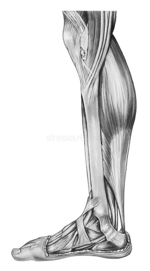 腿-更低的解剖学 向量例证