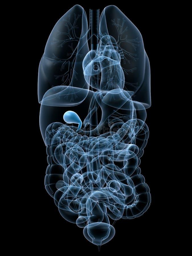 膀胱胆汁人 向量例证
