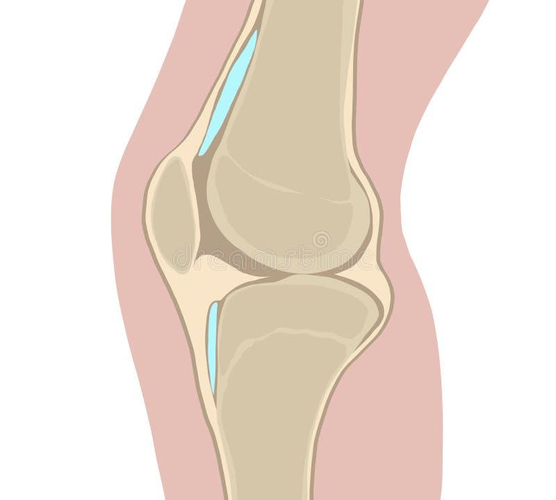 膝盖、骨头和联接 库存例证