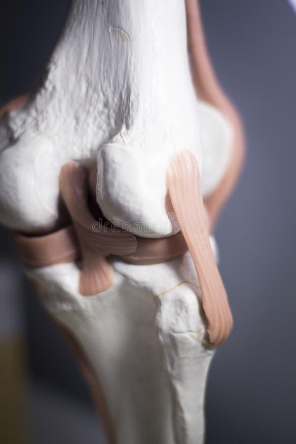 膝盖关节半月板腱模型 库存照片