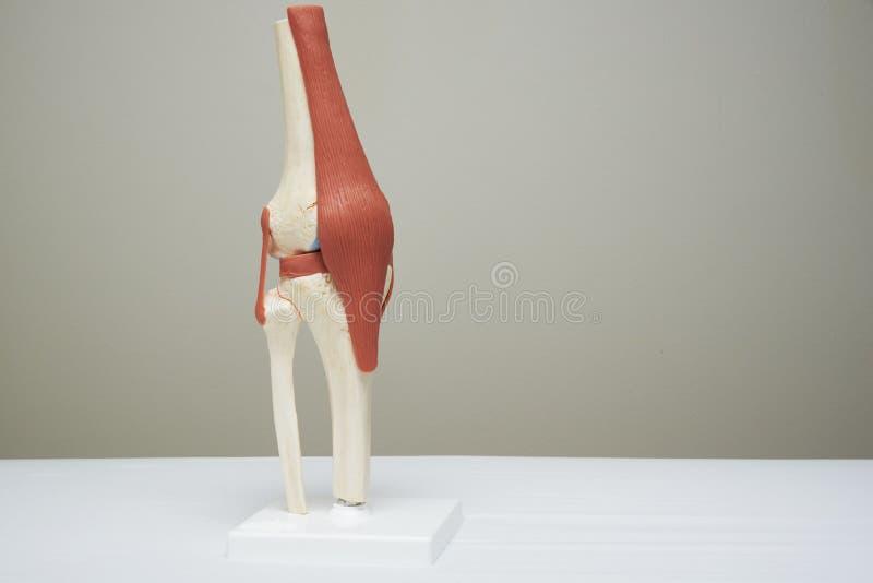 膝盖关节模型在医疗办公室 免版税库存照片