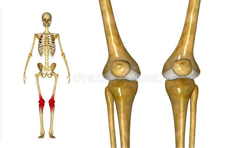 膝盖关节 向量例证