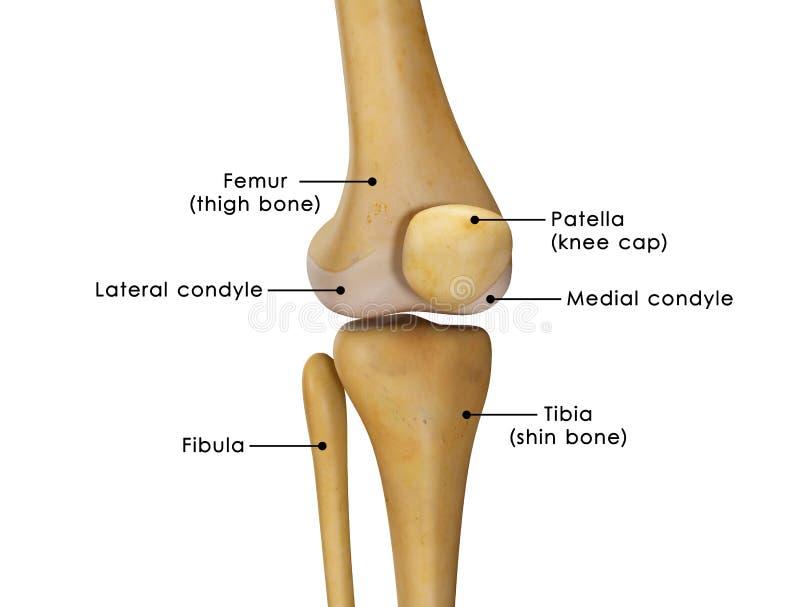 膝盖关节 免版税库存照片