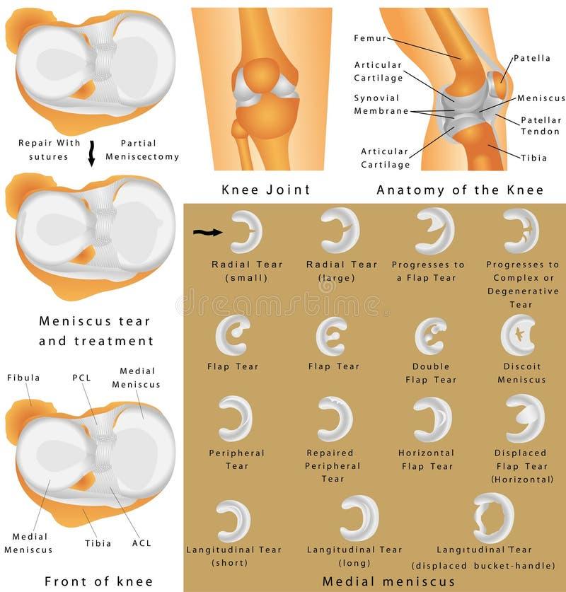 膝盖的解剖学 皇族释放例证