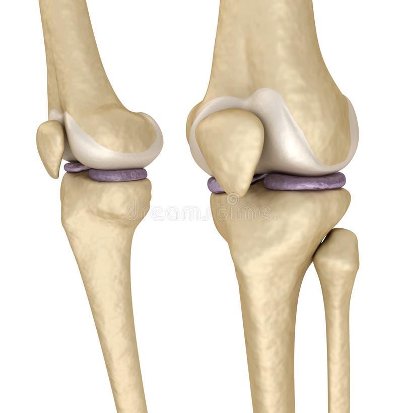 膝盖解剖学 查出在白色 皇族释放例证