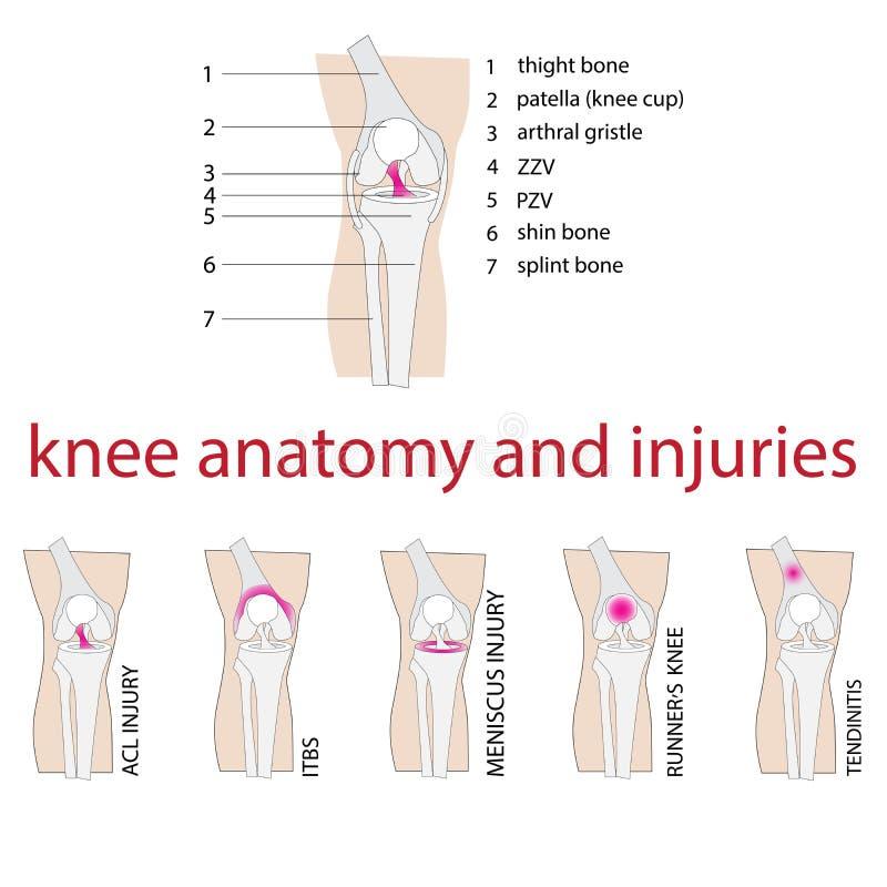 膝盖解剖学 向量例证