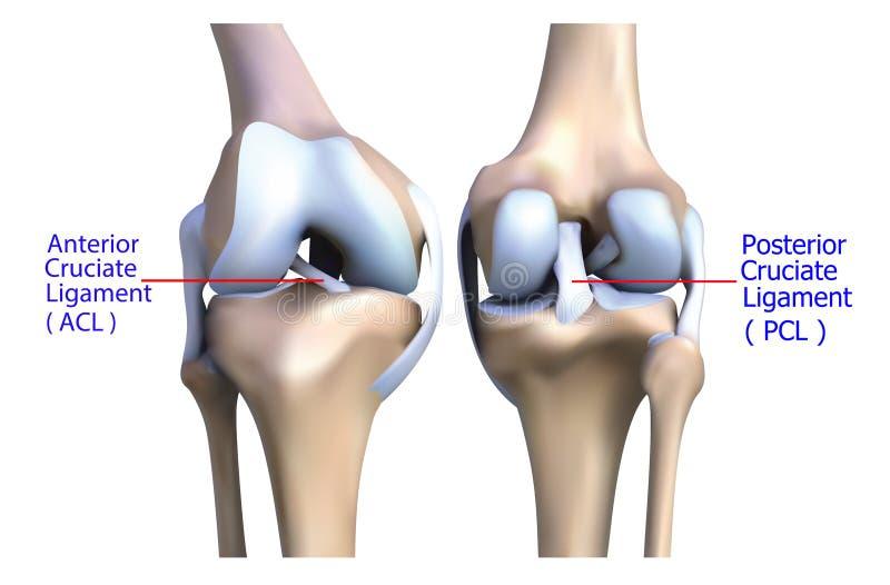 膝盖骨头和腱的解剖学。 向量例证