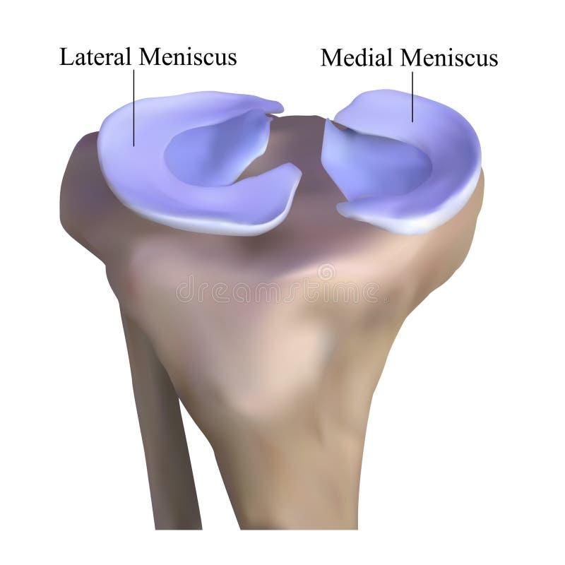膝盖骨头的解剖学 向量例证