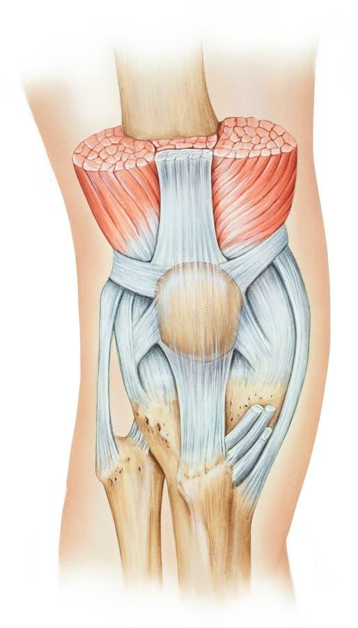 膝盖-伸张机机制 皇族释放例证