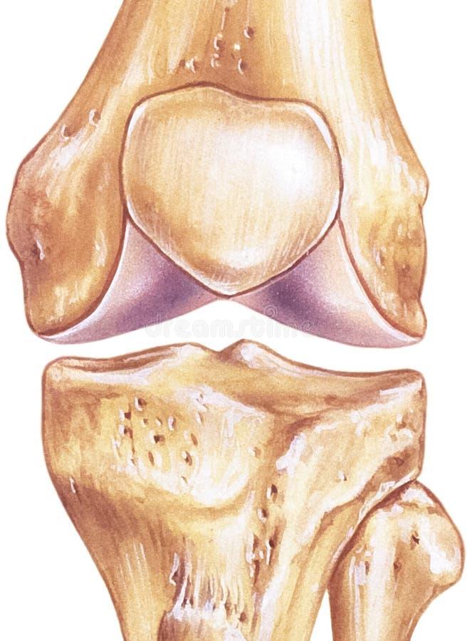 膝盖-联接和骨头 库存例证