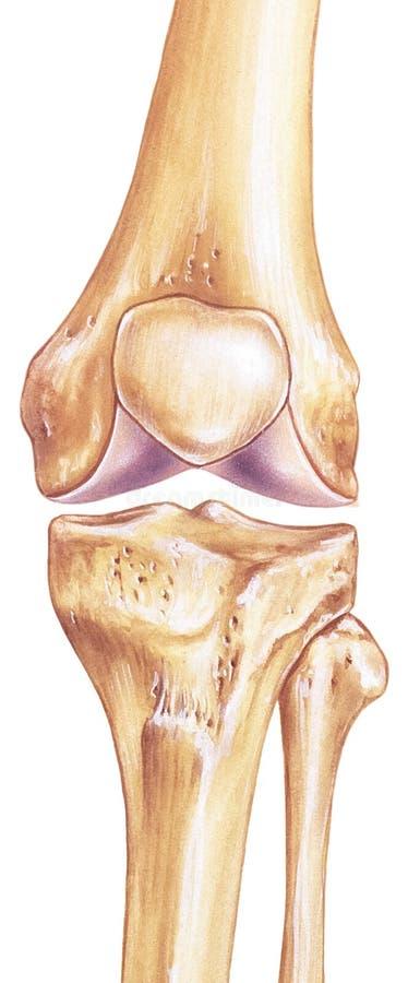 膝盖-联接和骨头 向量例证