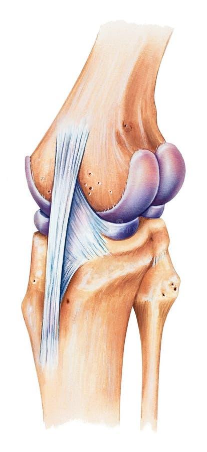 膝盖-背部中间看法 皇族释放例证