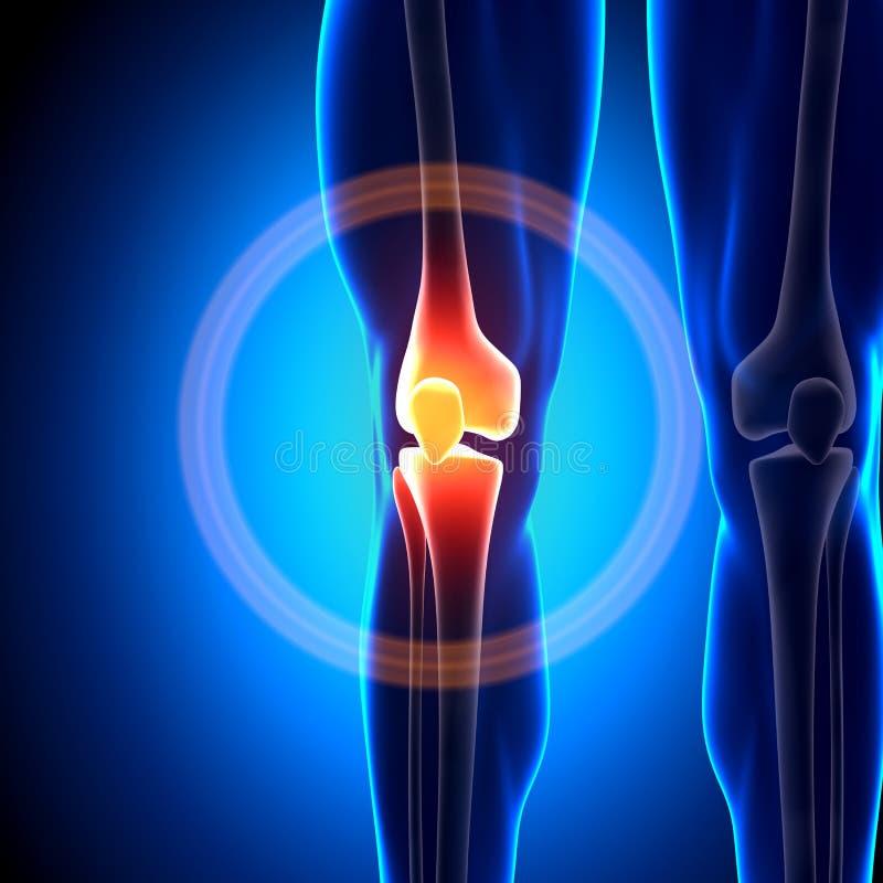 膝盖-解剖学骨头 向量例证