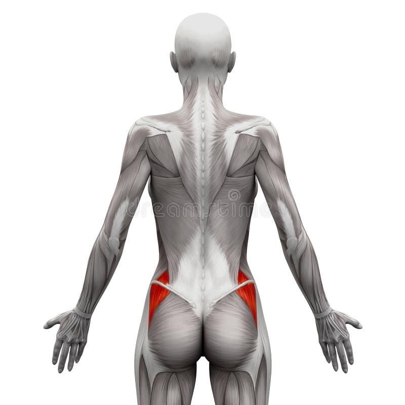 臀肌Medius -在白的3D illustra隔绝的解剖学肌肉 向量例证