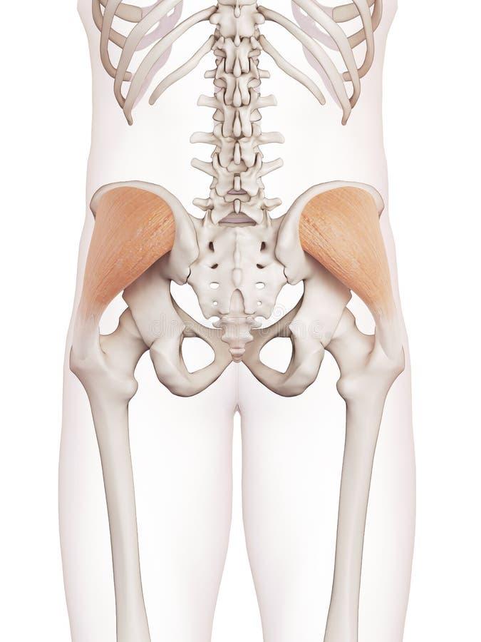 臀肌medius 向量例证