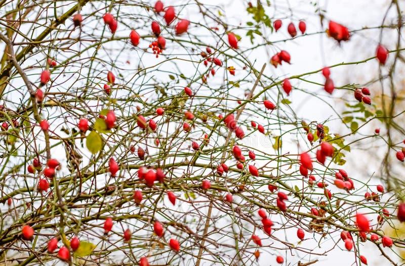 臀部丛生用成熟莓果 一dogrose的莓果在灌木的 野生玫瑰果子  棘手的dogrose r 库存照片