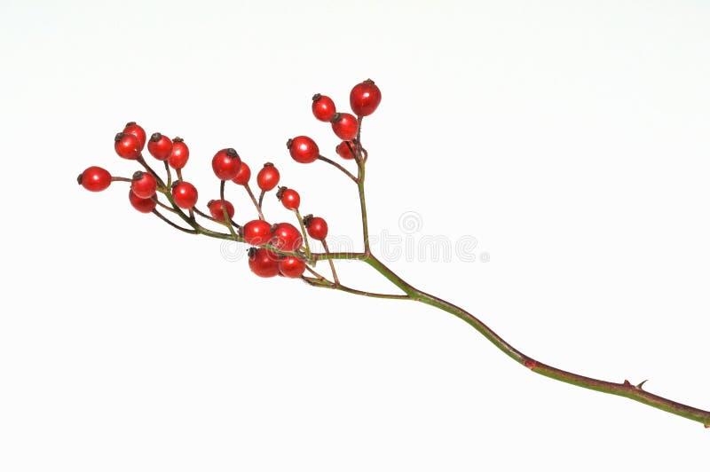 臀部玫瑰白色 免版税库存照片