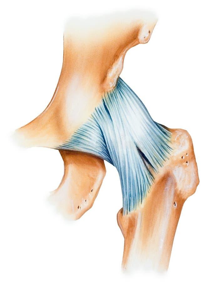 臀部-联合胶囊韧带 库存图片