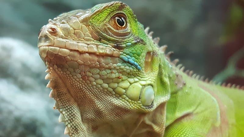 自傲蜥蜴在宠物商店 图库摄影