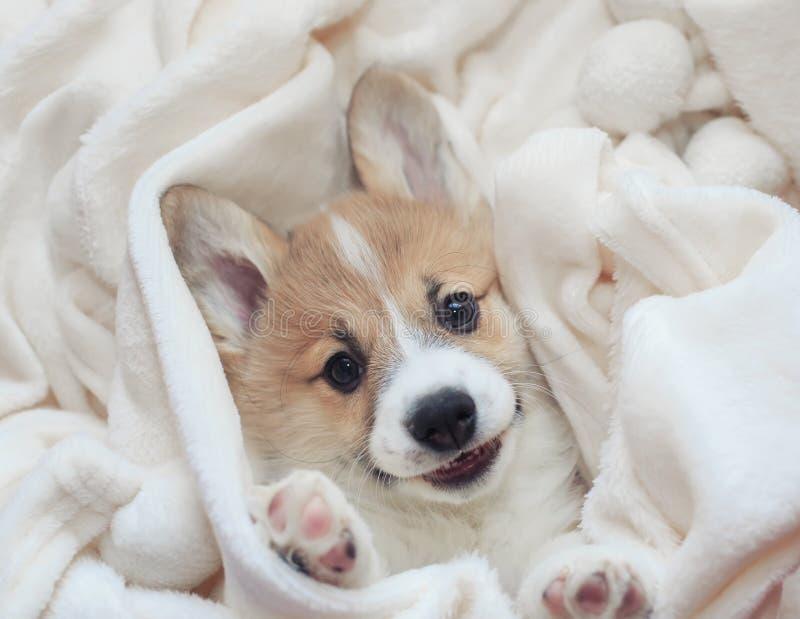 自创小狗小狗在滑稽一条白色蓬松的毯子在伸出他的面孔和爪子 库存图片