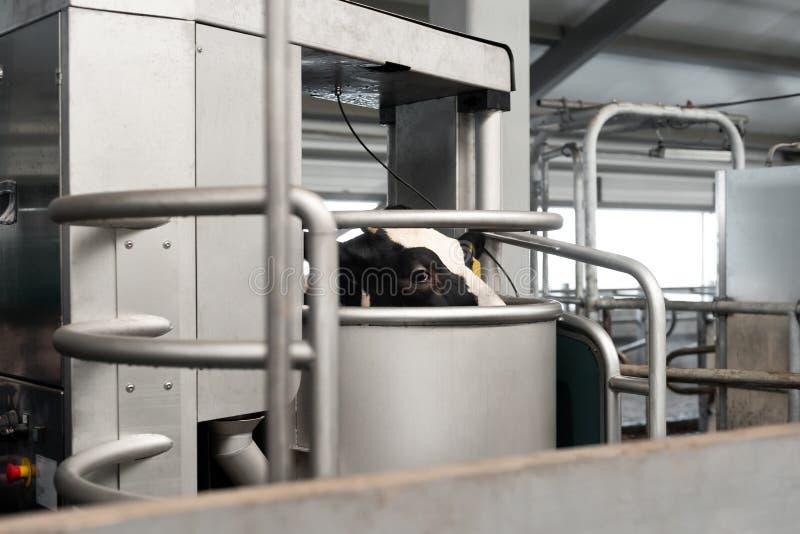 自动化的母牛挤奶 库存图片