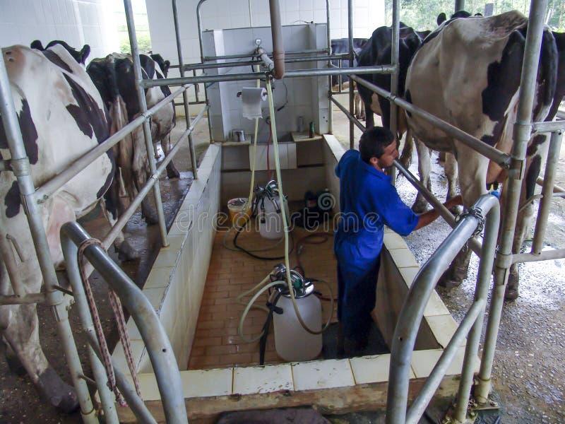 自动挤奶的系统产业母牛农场 库存照片