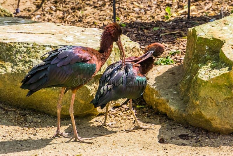 自夸其中每一的光滑的朱鹭夫妇其他全身羽毛,照料彼此,典型的鸟行为的鸟 免版税库存照片