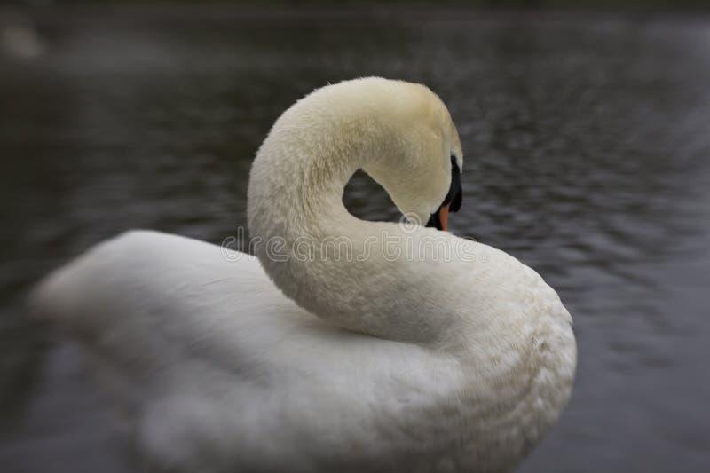 自夸在池塘边缘的一只白色天鹅 图库摄影