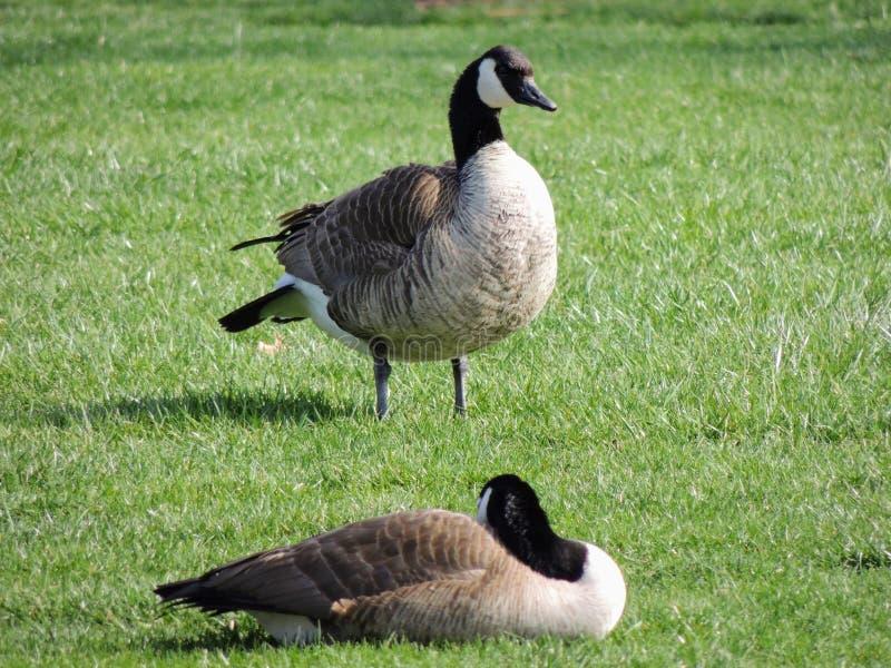自夸在草甸的野生加拿大鹅啃草,绿色水多的草,在印第安纳波利斯公园,美国 库存图片