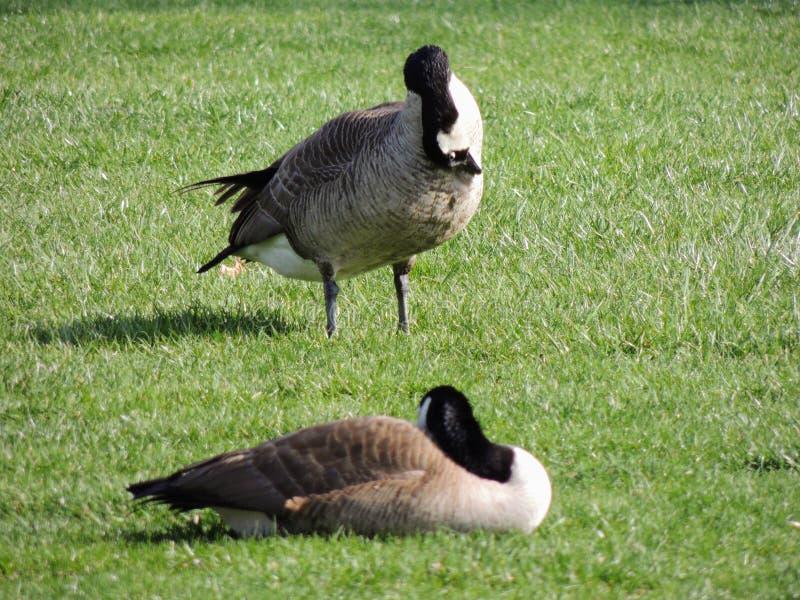 自夸在草甸的野生加拿大鹅啃草,绿色水多的草,在印第安纳波利斯公园,美国 库存照片
